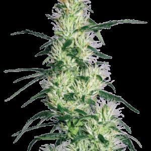 CBD Samen – Seeds WL Purple Haze Feminisiert (5stk)