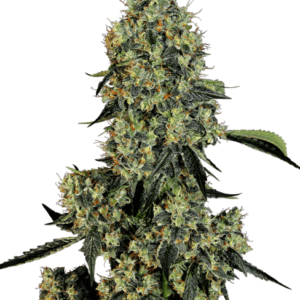 Cannabissamen – CBD Samen WL O.G. Kush Feminisiert (5stk)