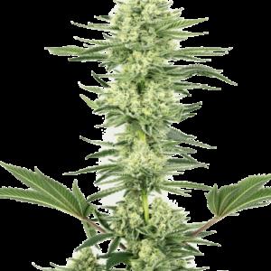 CBD Samen – Seeds WL White Gorilla Haze Feminisiert (5stk)