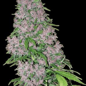 CBD Samen – Seeds WL Purple Bud Feminisiert (5stk)