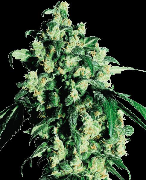 Cannabissamen – CBD Samen SS Super Skunk Feminisiert (5stk)