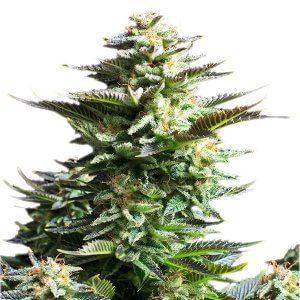 CBD Samen – Seeds RQS Amnesia Haze Feminisiert (5stk)