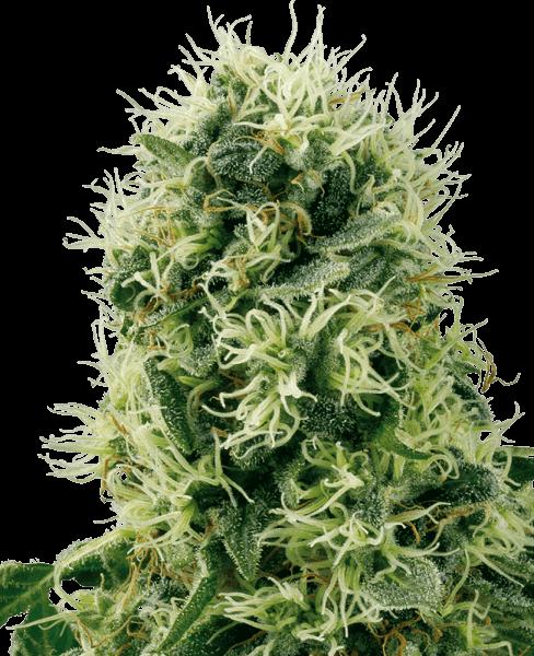 Cannabissamen – CBD Samen WL Pure Power Plant Feminisiert (5stk)
