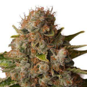 CBD Samen – Seeds RQS White Widow Feminisiert (5stk)