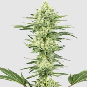 CBD Seeds Cannabissamen