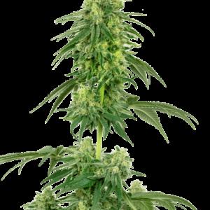 CBD Samen – Seeds WL Strawberry Kush Feminisiert (5stk)